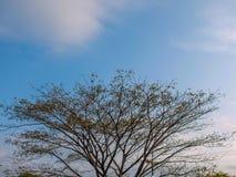 Brunch dell'albero Immagini Stock