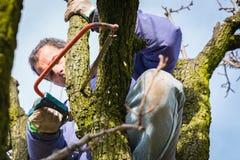 Brunch dell'albero della potatura Fotografia Stock