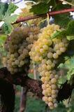 Brunch dell'uva di trebbiano sulla vite Vitis vinifera, Immagini Stock