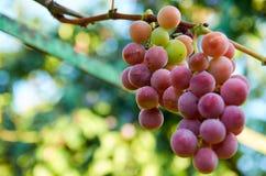 Brunch dell'uva porpora sulla fine vaga del fondo della natura su Immagine Stock Libera da Diritti