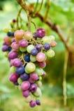 Brunch dell'uva verde porpora multicolore sul fondo vago della natura Immagini Stock