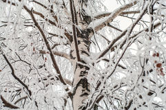 Brunch della betulla coperti di ghiaccio Immagine Stock