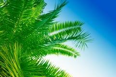 Brunch della palma Fotografia Stock