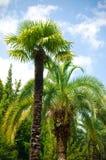 Brunch della palma Fotografia Stock Libera da Diritti