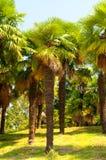 Brunch della palma Immagini Stock