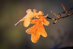 Brunch della quercia di autunno Immagini Stock Libere da Diritti