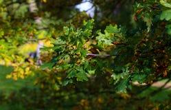 Brunch della quercia su Sunny Autumn Day Fotografie Stock