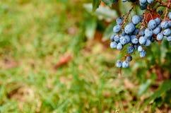 Brunch delle bacche blu sul fondo vago della natura con la fine dello spazio della copia su Fotografia Stock