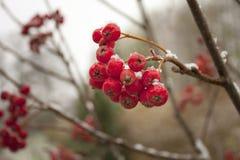 Brunch der Winter-Eberesche Stockbild