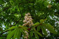 Brunch di fioritura del castagno nel giorno di molla soleggiato immagini stock libere da diritti