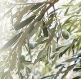 Brunch di olivo Immagini Stock Libere da Diritti
