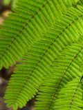 Green fern leaves from the top. A brunch with a few green fern leaves close up. Photo takken from the top on a summer morning Stock Photography