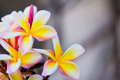 Brunch of frangipani, Lantom, plumeria flower Royalty Free Stock Photo