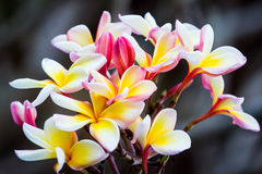 Brunch of frangipani, Lantom, plumeria flower Royalty Free Stock Image