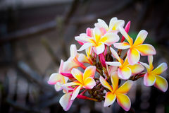 Brunch of frangipani, Lantom, plumeria flower Stock Image