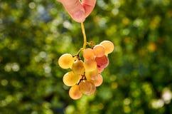 Brunch fresco dell'uva gialla che tiene nella mano sul fondo vago della natura Immagini Stock