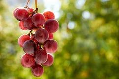 Brunch fresco dell'uva porpora sul fondo vago della natura Fotografia Stock Libera da Diritti
