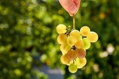 Brunch fresco dell'uva verde che tiene nella mano sulla fine vaga del fondo della natura su Fotografia Stock