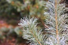Brunch glassato del pino Fotografia Stock Libera da Diritti