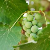 Brunch of grape Royalty Free Stock Photography