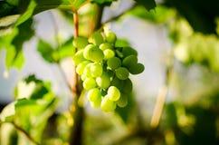 Brunch of grape Stock Photos
