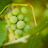 Brunch of grape Stock Image