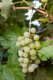 Brunch grapes Stock Photography