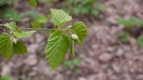 Brunch of of hazel tree in the forest macro. stock video