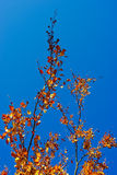 Brunch with leaves. Brunch with yellow leaves with blue sky on background Royalty Free Stock Image