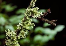 Brunch with lichen. Tree brunch covered by lichen (Hypogymnia physodes) over dark forest background Royalty Free Stock Image
