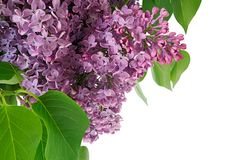 Brunch of lilac. Syringa vulgaris. Flower lilac and green leaf closeup Royalty Free Stock Image