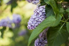 A brunch of lilac flowers royalty free stock images