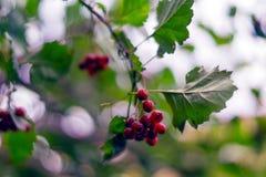 Brunch met rood fruit van haagdoorn Crataegus sanguinea Royalty-vrije Stock Afbeelding