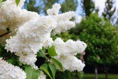 Brunch mit schönen weißen lila Blumen lizenzfreie stockfotografie