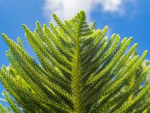 Brunch of Norfolk Island pine (Araucaria heterophylla, star pine, triangle tree or living Christmas tree) against blue sky, bottom stock images
