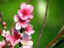 Brunch of peach flowers Stock Images