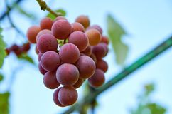 Brunch of purple grapes on blurred nature background. Sky on blurred background royalty free stock image