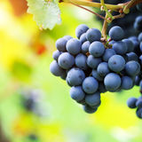 Brunch of red grapes. With autumn leaves Stock Image