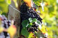 Brunch of red grapes. With autumn leaves Royalty Free Stock Image