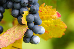 Brunch of red grapes. With autumn leaves Royalty Free Stock Photography