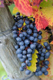 Brunch of red grapes. With autumn leaves Stock Photo