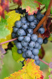 Brunch of red grapes. With autumn leaves Royalty Free Stock Images