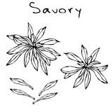 A Brunch of Savory with Leaves. Savory Springs. Background with Aromatic Herb. Fresh Cooking Ingredient. Meat, Soup, Main Course S. Pice. Realistic Hand Drawn Royalty Free Stock Photo