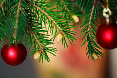 Brunch-Tannen-Baum mit jungem Kegel Lizenzfreie Stockbilder