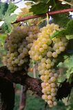 Brunch of trebbiano grapes on the vine Vitis vinifera,. White grapes suitable for wine production Stock Images