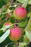 Brunch van groene en roze verse organische appelen royalty-vrije stock afbeeldingen