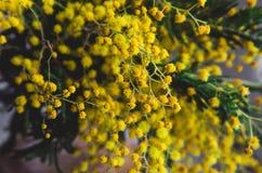 Brunch van mooie gele mimosa De lenteachtergrond, Rustieke bloemen Stilleven 1 Stock Afbeelding