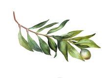 Brunch verde dell'olio dell'acquerello su fondo bianco Fotografie Stock Libere da Diritti