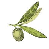 Brunch verde oliva disegnato a mano Fotografia Stock