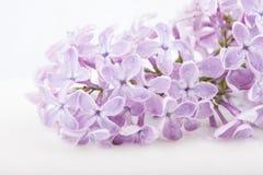 Brunch von lila Blumen auf weißem Hintergrund Stockfotos